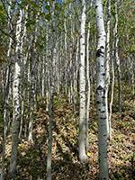 La forêt des bouleaux