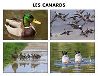 Poni découvre et présente-Les canards