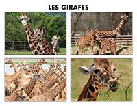 Poni découvre et présente-Les girafes