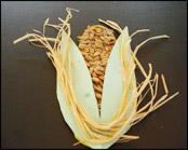 Collez le   raphia pour représenter les soies du maïs.