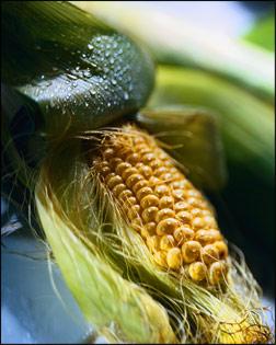 Miam miam le bon maïs